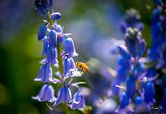 Purple dream  (T.ye) Tags: flowers plant field animal outside mono purple bokeh deep bee todd  ye bellflower
