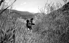 Kira running (Victor.Colas) Tags: bw dog film nature monochrome analog 35mm outdoors bn epson konica af ilford fp4 compact hexar selfdeveloped v500 250iso