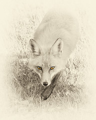 The Fox's Gaze (brian-caldwell.artistwebsites.com) Tags: wild nature animal animals sepia photoshop wildlife fox foxes photoart selectivecolor redfox briancaldwell foxart