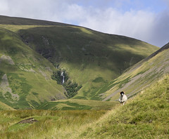 Cautley Spout and guardian, Howgill Fells near Sedbergh, Yorkshire Dales National Park, Cumbria, UK (Ministry) Tags: uk waterfall nationalpark sheep yorkshire hill cumbria scree moor cascade dales hareshaw sedbergh howgill howgillfells cautleyspout bowderdalehead redgillbeck cautleyholmebeck