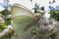 Mariposa blanca (Gus@lc) Tags: naturaleza mariposas canong12