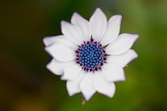 Soprano White (saeah_lee) Tags: california flowers usa plant flower macro nature outside unitedstates sandiego outdoor daisy africandaisy osteospermum ralphwaldoemerson canon100mm sopranowhite