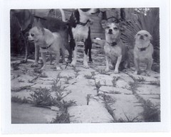 take 1 (EllenJo) Tags: blackandwhite bw pets chihuahua simon home dogs animals yard polaroid bostonterrier four weeds ivan hazel expired floyd tooclose fail landcamera 2016 stonepath instantfilm fromtheground takeone polaroidweek april20 polaroid667 chiweenie 3000speed roidweek colorpack3 ellenjo ellenjoroberts ahintofharrison