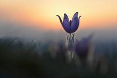 D71_4631A (vkalivoda) Tags: wild plant flower closeup pretty purple outdoor depthoffield delicious serene pasqueflower delightful purpur pourpre rezervace purpureo malhostovice koniklec pulsatillagrandis koniklecvelkokvt malhostovickpecka cocoonofdreams