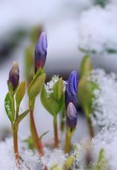 April Snow (erin lanigan) Tags: snowflakes vinca