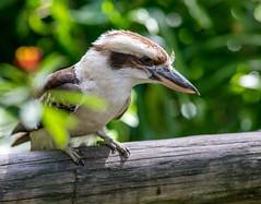 Kookaburra (hodad66) Tags: bird aviary kookaburra melbourneflorida brevardzoo sonya7rii nikkor200mmf2ais