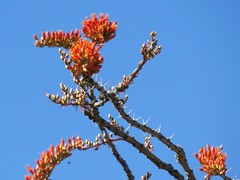Ocotillo Flowers (Larry Myhre) Tags: arizona flower ocotillo desertghosts