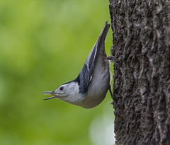 White-breasted Nuthatch (AllHarts) Tags: ngc npc whitebreastednuthatch spac hollyspringsms naturesspirit naturescarousel