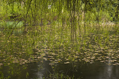 The willow, the lilies, the rain (Rod Raglin) Tags: park green rain spring pond willow lilies waterlillies queenelizabethpark