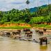 P4193301 Vagamundos 16 Sri Lanka Orfanato Elefantes Pinnawala
