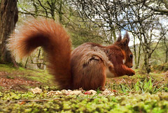 Bright Eyed And Bushy Tailed ! (James Whorriskey (Delbert Jackson)) Tags: uk ireland light red wild colour reflection art woodland catchycolors print photo squirrel photographer picture photograph londonderry northernireland tame derry donegal ulster inishowen impressionsexpressions aroundus jameswhorriskey delbertjackson jameswhoriskey jameswhorriskeyphotography