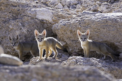 3 Kit Fox Pups (lgambon) Tags: wild animal pups wildlife fox kit pup