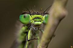 Open mouth (Rinaldo R) Tags: macro male closeup insect damselfly libellula canonmpe odonata coenagrionidae damigella focusstacking canon6d ischnuragenei handheldstack islandbluetaildamselfly