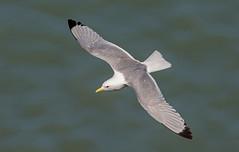 JWL1271 Kittiwake..... (jefflack Wildlife&Nature) Tags: nature birds countryside wildlife gulls ngc cliffs npc avian seabirds waterbirds shorebirds wildbirds kittiwake bempton coastalbirds