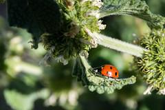 Ladybug Hammock (vaneebs) Tags: california red macro green nature lady bug insect miniature spring small tiny hammock ladybug wilderness polkadot