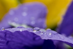 After the Spring Rain (rbsotirov) Tags: flower macro rain spring nikon with ring after reverse 1855 waterdrops vrii reverce d3300