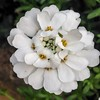 Evergreen candytuft (regina_jaenicke) Tags: day113 p3662016