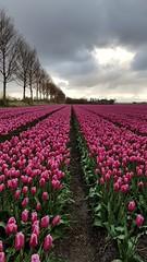 Tulips Espel - mobile picture (NLHank) Tags: flowers holland netherlands tulips nederland samsung galaxy edge bloemen bollen tulpen s7 bollenvelden nlhank