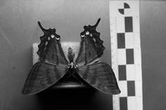 UV Butterfly