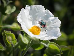 Buggy Contrast. (Omygodtom) Tags: wild macro nature contrast bug season insect fly nikon dof natural bokeh tamron90mm d7100 elitebugs