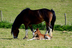 Horse and foal just been born 010516 (trevorcridlan) Tags: horse animal countryside nikon outdoor oxfordshire farmanimals foal d5200