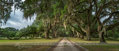 Plantation Drive (betty wiley) Tags: road trees drive moss oak south southcarolina driveway plantation spanishmoss bettywileyphotography