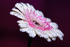 White and Pink 2 (There and back again) Tags: pink white flower macro gerbera waterdroplets