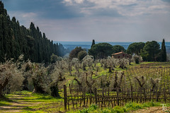 This is Tuscany (Astro-Foto-Tom) Tags: italy landscape wine tuscany landschaft cypresses wein olivetrees bolgheri olivenbume zypressen sonya58