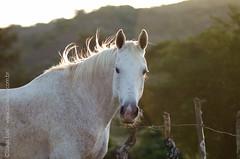 _DSC8877 (Izaias Lus) Tags: brasil caballos photography photographie cavalos equestrian equine nordeste chevaux equino haras equestre garanhunspe
