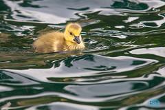 0430 IMG_1328 (JRmanNn) Tags: lake pond lasvegas duckling aquatic desertshores