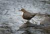 Dipper (Shane Jones) Tags: bird river nikon dipper tc14eii 200400vr d7200