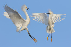 Sizing up! (bmse) Tags: county orange canon fight wings snowy l f56 wingspan salah egrets 400mm wingsinmotion 7d2 visipix bmse baazizi