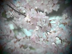 P5020665 (mina_371001) Tags: flower beautiful japan spring sapporo hokkaido sakura cherrybrossom nakajimapark photographywork olympusomdem10
