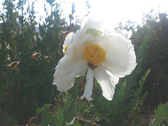 20160430_084352 (Laura) Tags: bees fone matilijapoppies