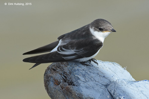 White-winged Swallow 12824gb