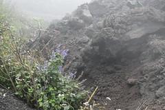 _DSC0645 (lnewman333) Tags: flowers latinamerica volcano highlands guatemala antigua centralamerica pacaya lavarocks activevolcano volcanpacaya