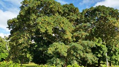 Albizia-forbesii_MoanaluaGarden-Honolulu_Cutler_20160106_154213 (wlcutler) Tags: hawaii oahu honolulu albizia maunalua broadpod albiziaforbesii maunaluagarden