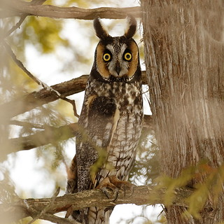 Long Eared Owl hiding