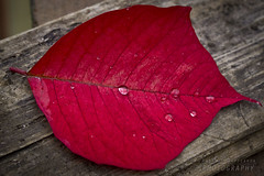 Red leaf (Andrea Rapisarda) Tags: red stilllife macro texture nature 50mm leaf drops sony poinsettia foglia rosso rugiada gocce trama 2016 venature stelladinatale allrightsreserved a6000 ilce6000