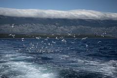 0281 The Feast (Hrvoje Simich - gaZZda) Tags: blue sea sky seagulls seascape mountains birds clouds feast nikon flock croatia nikkor kvarner kvarnergulf nikkor28803356 nikond750 gazzda hrvojesimich