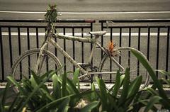 _MG_6920.jpg (luc@sCarvalho) Tags: street white flower verde green bicycle wheel branco canon big saopaulo accident sopaulo flor bicicleta grade rua roda paulista acidente 60d