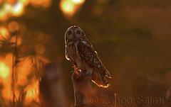 Short Eared Owl (Zahoor-Salmi) Tags: camera pakistan macro nature birds animals canon lens photo tv google flickr natural action wildlife watch bbc punjab wwf salmi walpapers chanals discovry beutty bhalwal zahoorsalmi