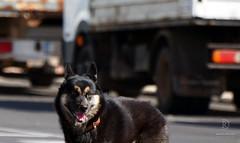 A Walk In The City (kaprysnamorela) Tags: street dog black grancanaria spain december background alsatian pozo nikond3300