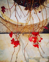 #parthenocissus #nature #ampelopsis #leaf (_venividivici_) Tags: nature leaf parthenocissus ampelopsis uploaded:by=flickstagram instagram:photo=10951296311638842372142130455