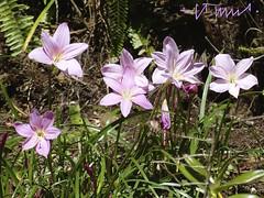 Pink Rain lily, El Salvador (ssspnnn) Tags: lumix rosa panasonic lilly elsalvador corderosa nunes sansalvador rosado zephyrantes lirium carinata amarylidaceae fz150 iridaceaefamily snunes spnunes