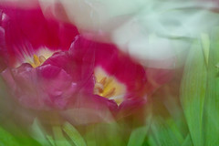 Tulips ICM _1121Crp (Barrie Wedel) Tags: longexposure abstract motion blur texture effects experimental tulips image flash motionblur icm slowspeed abstractphotography creativeshot intentionalcameramovement motionblureffect