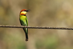 Chestnut-headed Bee-eater - Merops leschenaulti (Roger Wasley) Tags: india bird birds kerala southern westernghats chestnutheadedbeeeater meropsleschenaulti thattekkad bayheadedbeeeater
