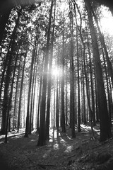 (nic lawrance) Tags: trees light sun lines contrast woodland shadows shine cotswolds gloucestershire pines tall shape