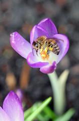 Late January Honey Bee! (RiverCrouchWalker) Tags: winter insect january crocus pollen honeybee essex invertebrate rhs hydehall 2016 apismellifera rettendon rhshydehall