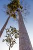 Balsa Tree_0340 (hkoons) Tags: tree peru latinamerica southamerica america libertad amazon rainforest warm country spanish jungle balsa tropical tropics humid peruvian balsawood amazonrainforest amazonbasin sevennaturalwondersoftheworld balsatree loretoregion
